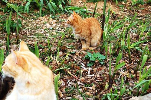 DSC_0956 Dos gatos rubios