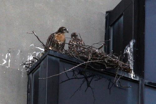 hawk nest 1