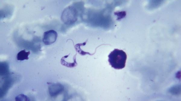 Além disso, você também irá estudar alguns protozoários causadores de doenças, como o Trypanossoma cruzi, causador da doença de chagas.