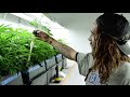 Maconha -  Como funciona a produção no Colorado