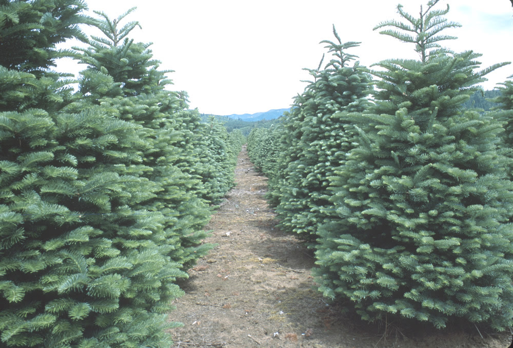 How To Care For A Freshly Cut Christmas Tree   Modern Home Design and Decor