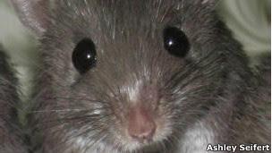 Ratón espinoso africano (Foto: Ashley Seifert)