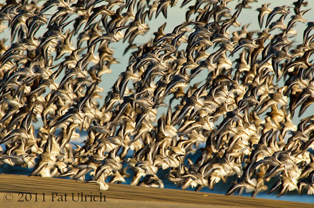 Tight flight formation of sandpipers
