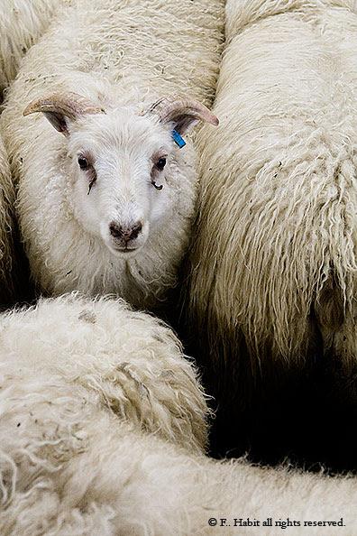 Iceland. Sheep.