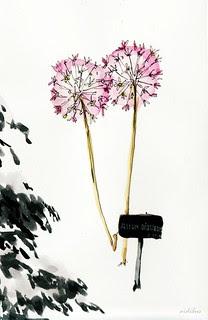 Allium Gigateum