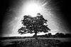 sunburst tree