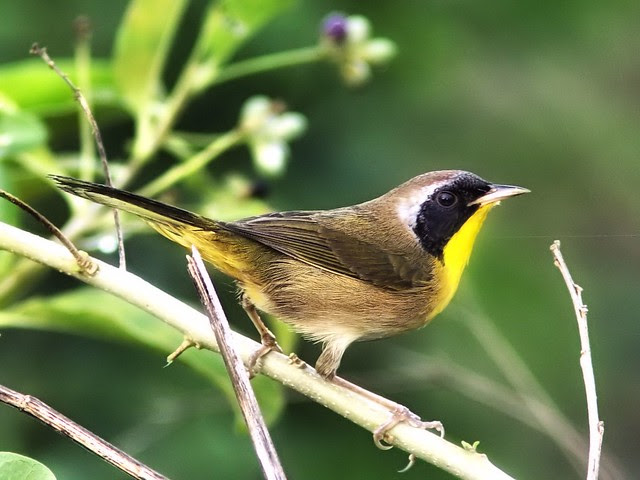 Common Yellowthroat COREL 20121211
