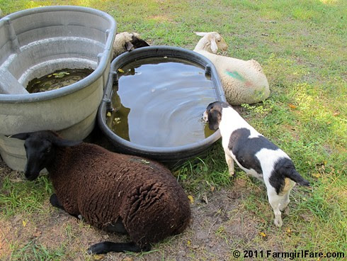Beagle Bert tanking up at the sheep water trough - FarmgirlFare.com