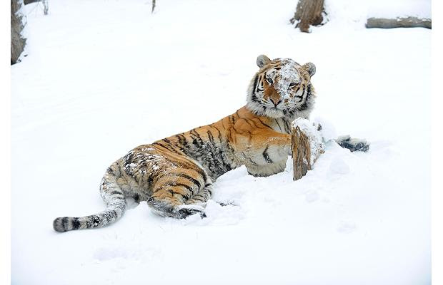 The Tiger in Winter