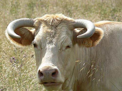 vache blanche seriers.jpg