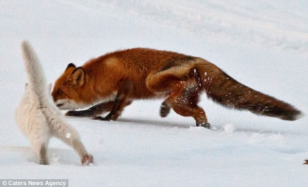 Too close for comfort: The fox comes sniffing within a whisker of Sioma but the fearless feline stands his ground