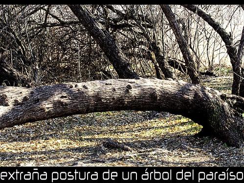 extraña postura de un Elaeagnus angustifolia