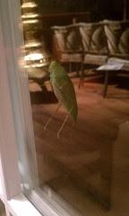 Grasshopper on the back door