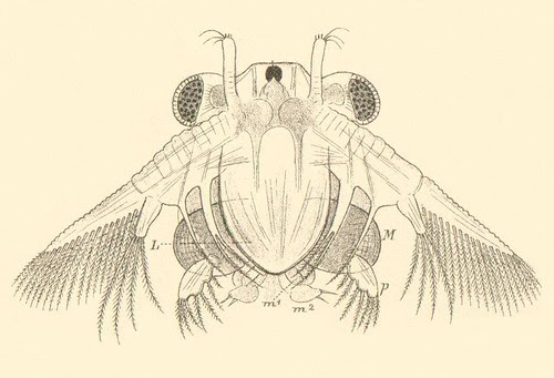 Branchinecta paludosa a detail 1