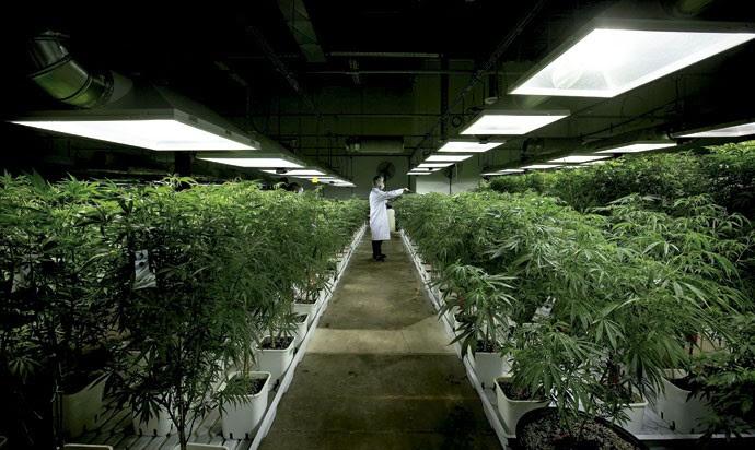 Na farmácia: funcionário rega plantação de maconha, que será usada até no combate ao câncer (Foto: Darryl Dick/ The Canadian Press/ ZUMAPRESS/ Glow Images)