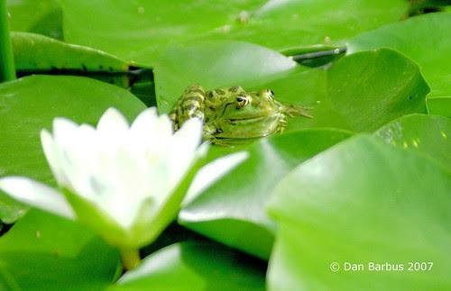 frog warming near a lotus flower