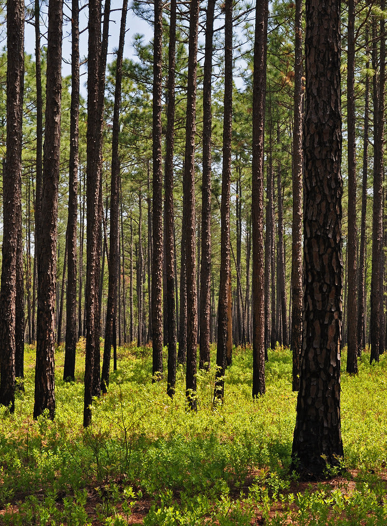 Zuni Pines