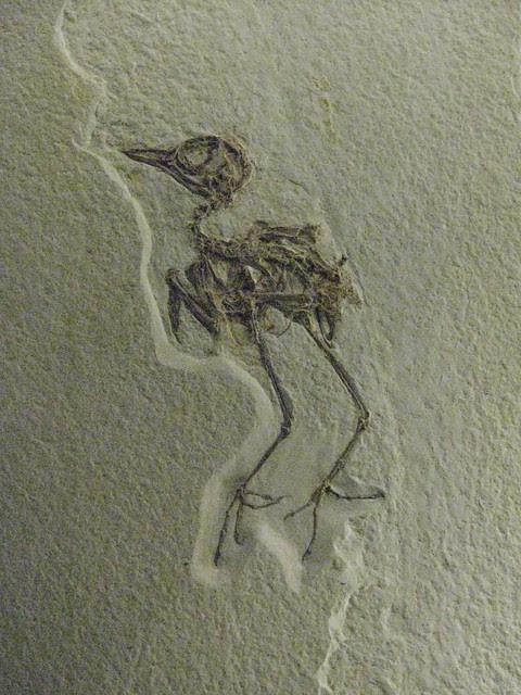Eocene bird