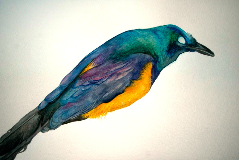 Golden-Breasted Starling (birdskin), watercolor 2009