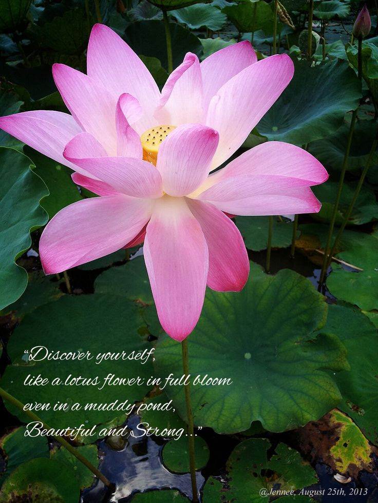 14 Meaning Of The Lotus Flower Of Meaning The Flower Lotus