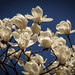Deep blue sky and white magnolias.jpg