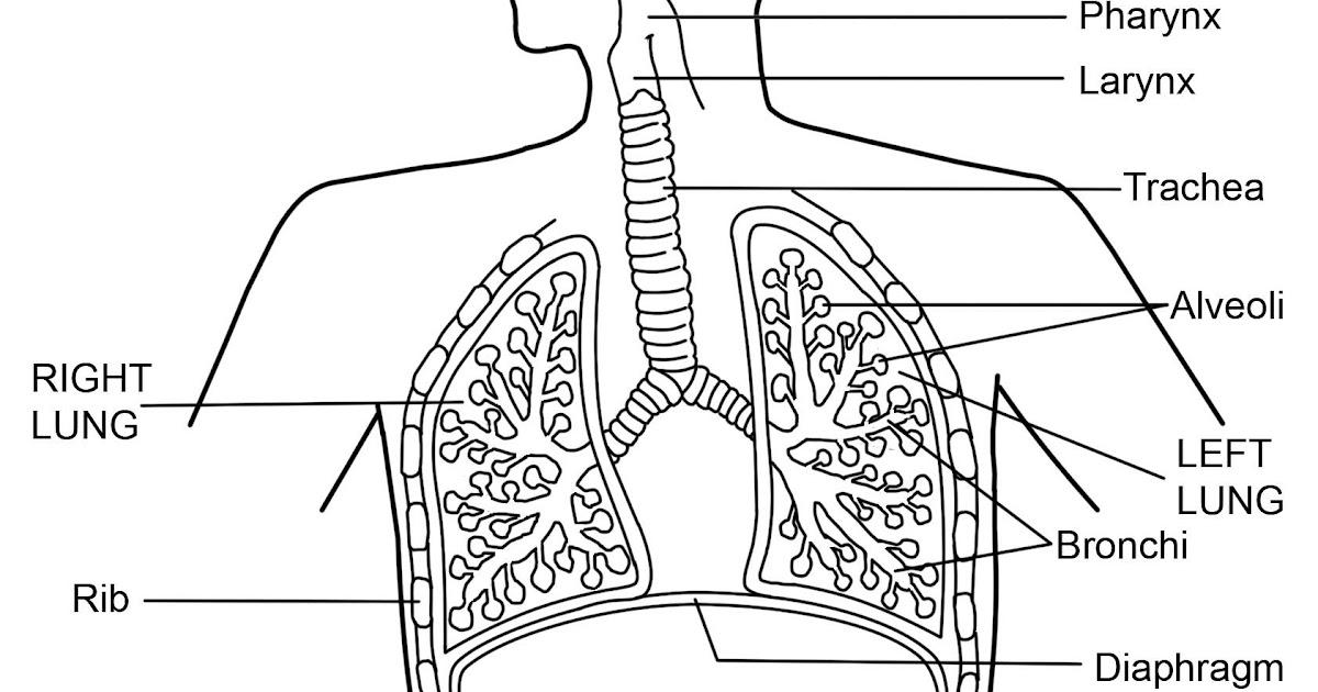 Label The Respiratory System Worksheet Answer Key - worksheet