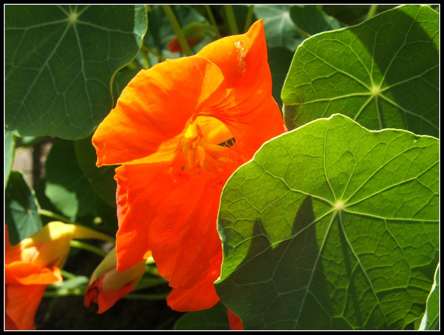 Nasturtiums by Angie Ouellette-Tower for godsgrowinggarden.com photo 025_zps10e80ef7.jpg