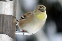 goldfinch 054