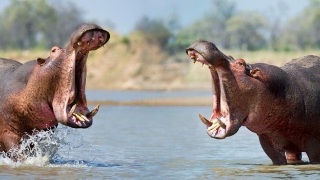 Hippos yawn to signal aggression (Credit: Nick Garbutt/naturepl.com)