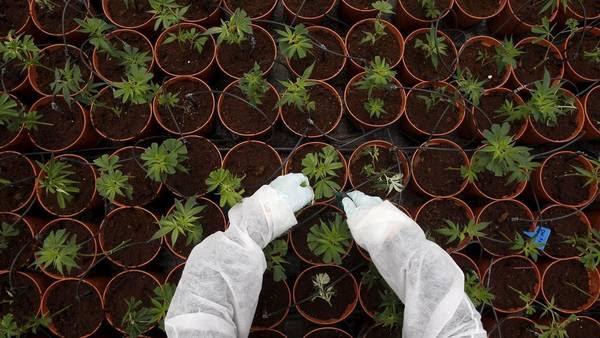 Cultivo de marihuana. (Reuter)