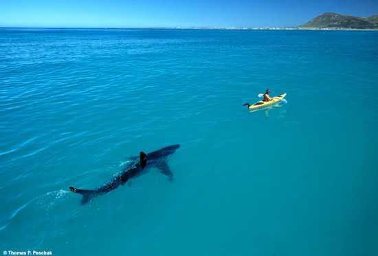 Καρχαρίας ακολουθεί  κωπηλάτη