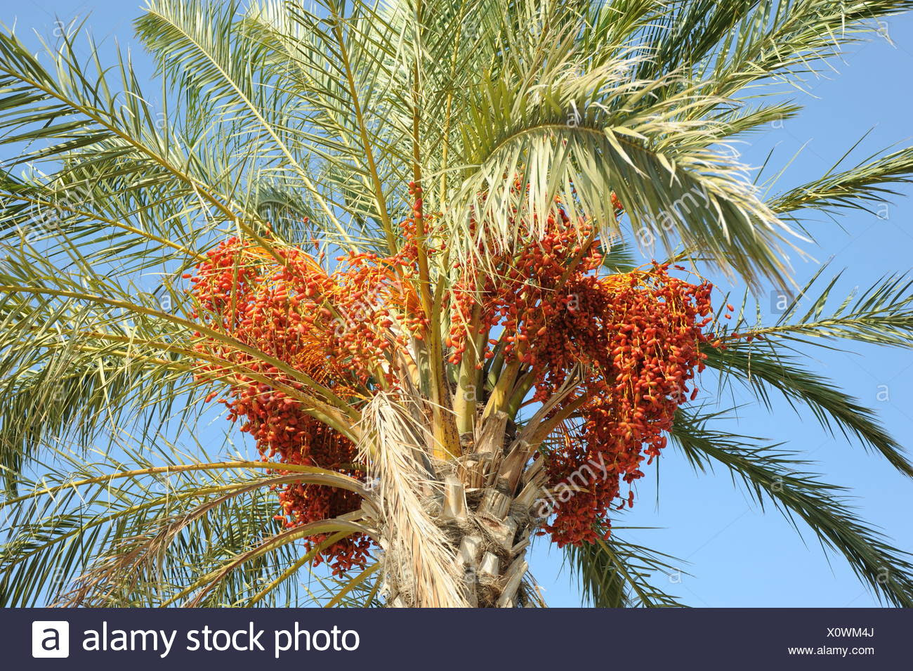 Tree Green Leaves Fruit Palm Tree Dates Date Palm Date Tree