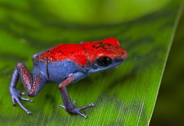 צפרדע חץ ארסית