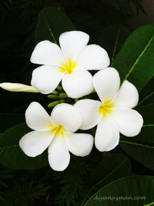 http://www.diyanazman.com/blogs/wp-content/uploads/2011/03/Frangipani-bunga-kemboja.jpg