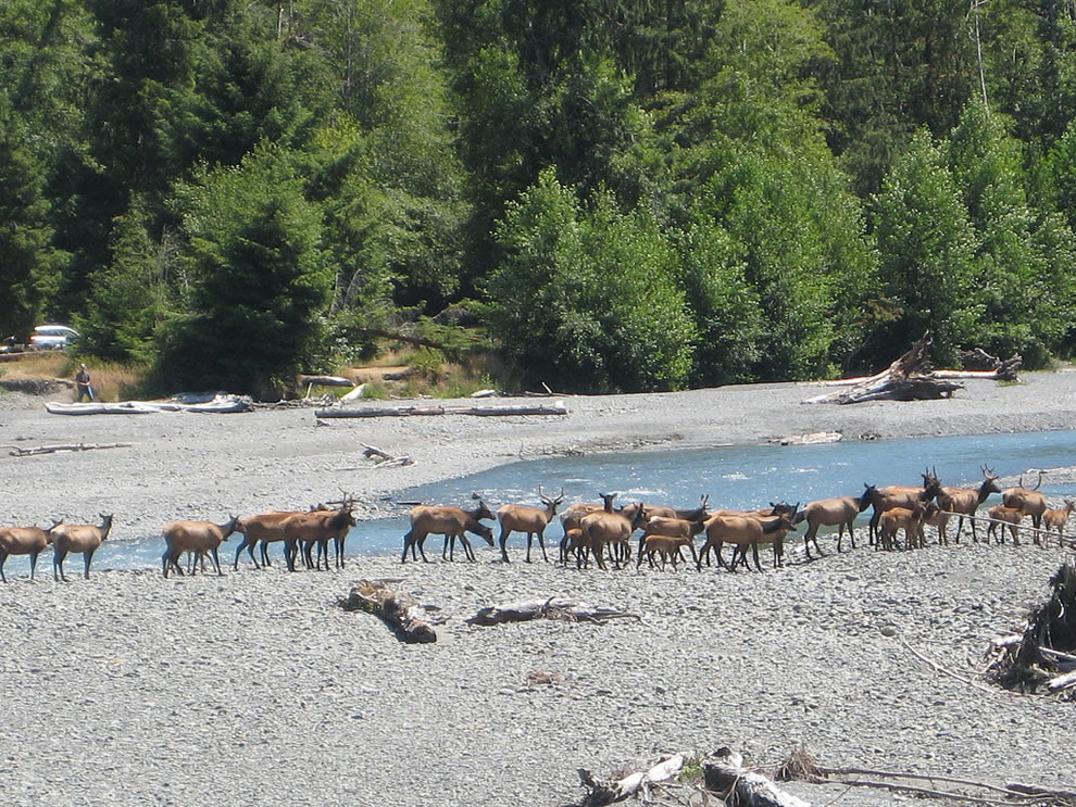 A herd of elk cross the Hoh River on the western side of the Olympic National Park in Washington state