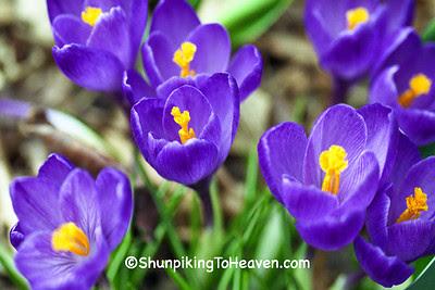 Spring Crocuses, Dane County, Wisconsin