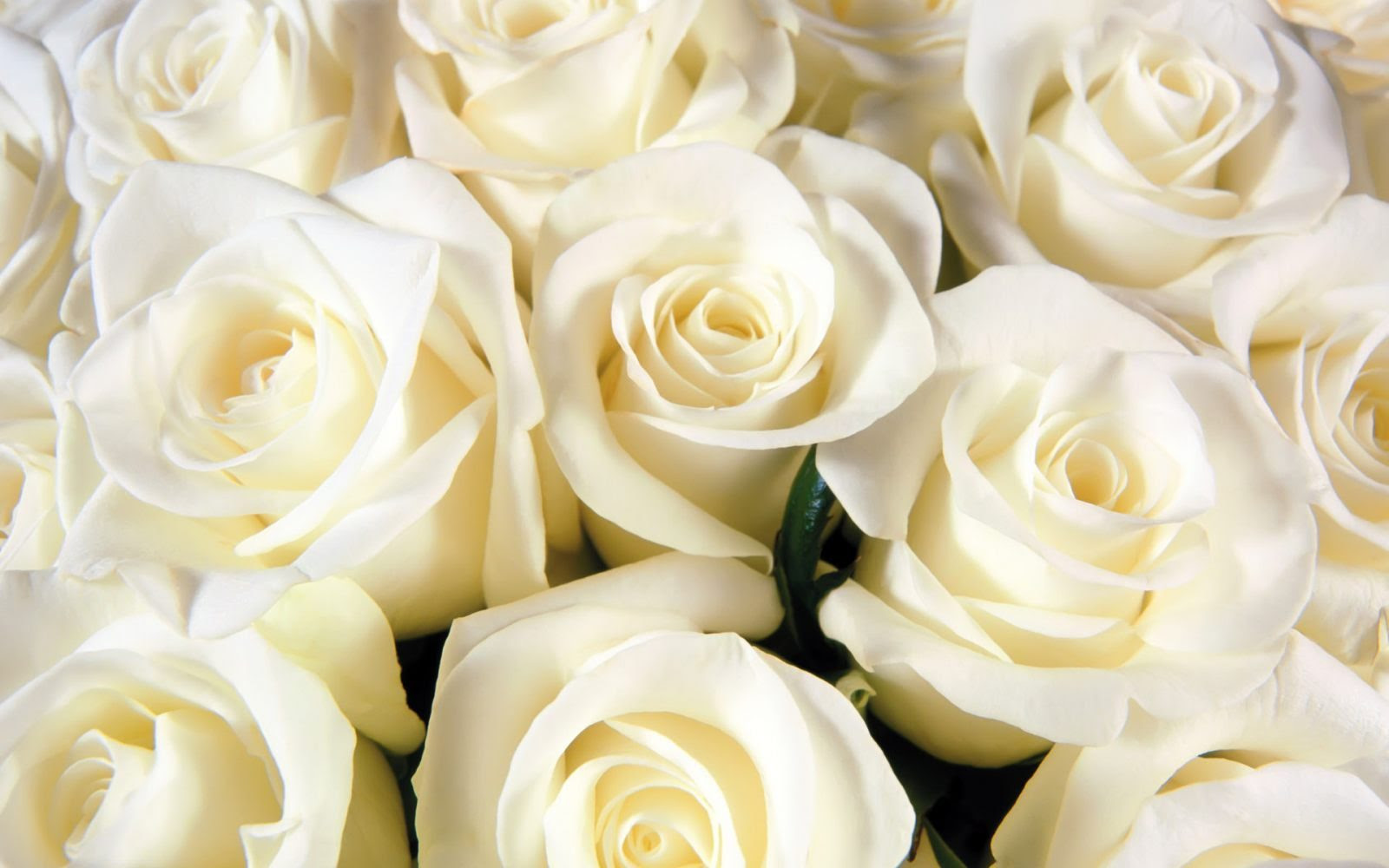 Galería De Imágenes Rosas Blancas