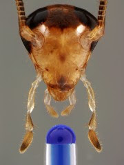 The head of a male German cockroach, showing the four major external chemosensory paired appendages. The antennae extend upward (black compound eyes behind...