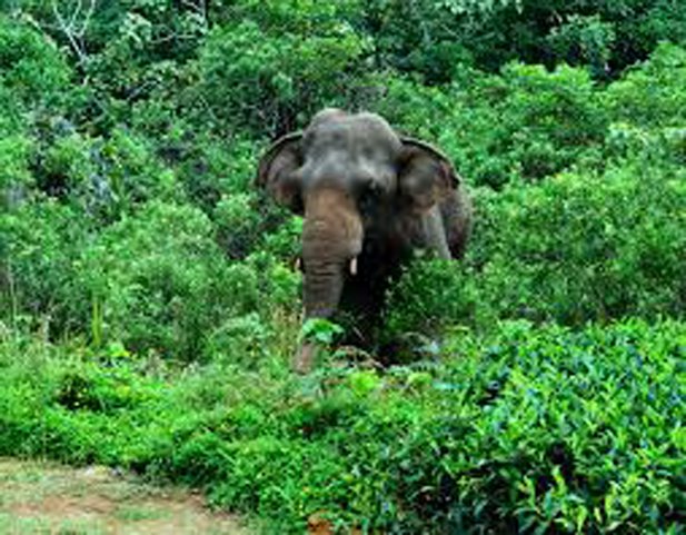 Elephant detention center to shift two elephants roaming in Sinharaja