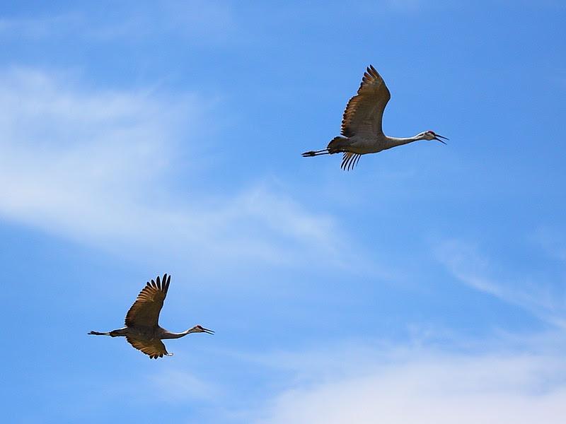 IMG_6612 Sandhill Cranes, Ash Creek Wildlife Area