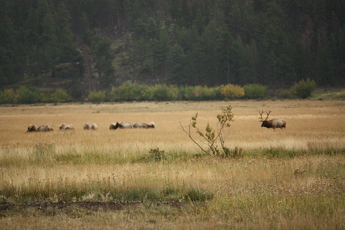 Elk in the meadow