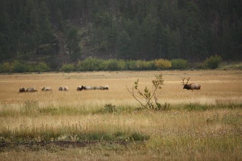 Elk in the meadow