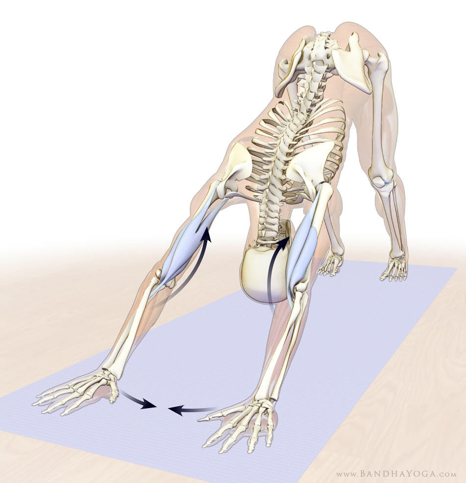 biceps and brachialis in downward dog pose