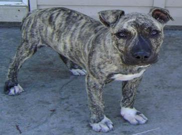 Brindle Tiger Stripe Pitbull Puppies Pets Gallery