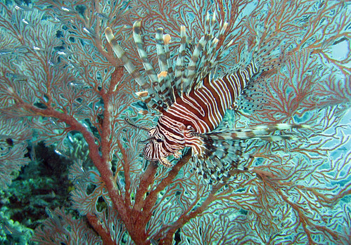 Lionfish in Sea fan at Dinding Rene