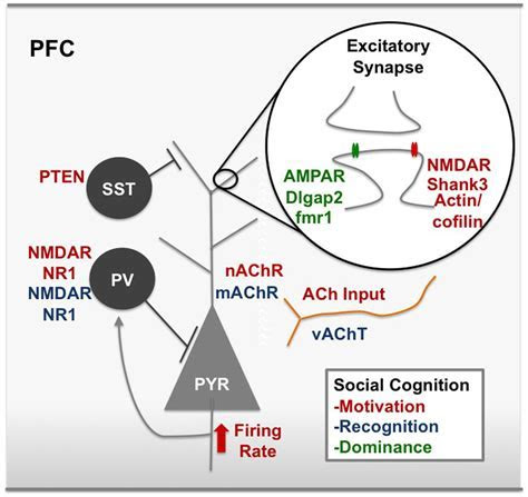 Frontiers   Prefrontal Cortex and Social Cognition in Mouse and Man   Psychology