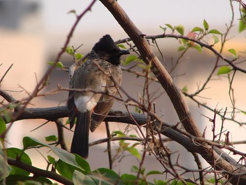 Bulbul Bird, India