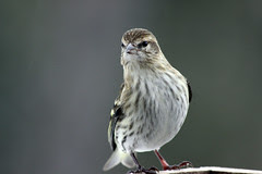 Pine Siskin at my feeder