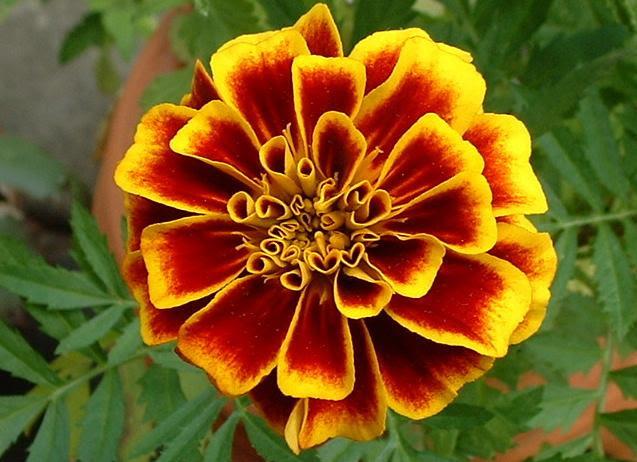 File:Close marigold.jpg