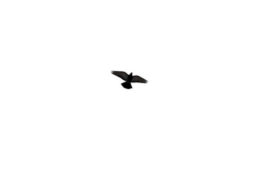 pigeon web